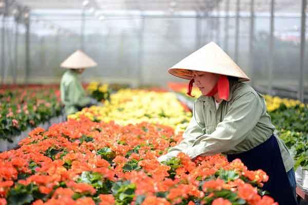 Hoa Đà Lạt không thể vận chuyển ra Bắc, TP.HCM kêu gọi hỗ trợ nông dân