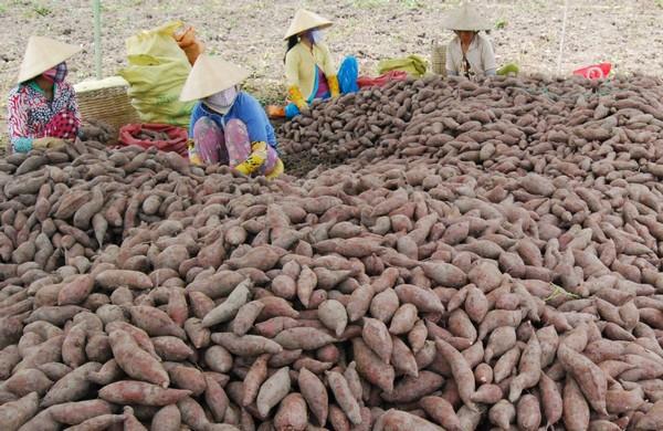 Khoai lang, xà lách xoong và bưởi năm roi rớt giá, Vĩnh Long tìm đường tiêu thụ giúp nông dân