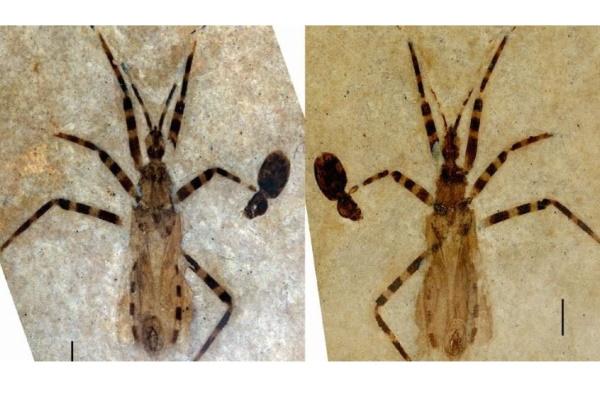 Phát hiện loài bọ sát thủ mới từ hóa thạch 50 triệu năm tuổi