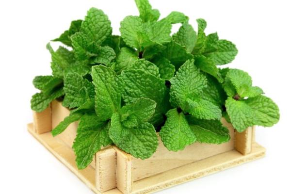 """5 loại thảo dược """"cây nhà lá vườn"""" trị mụn lưng  hiệu quả"""