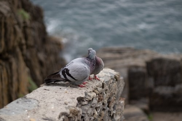 Tình yêu ở chim bồ câu có lãng mạn như con người chúng ta?