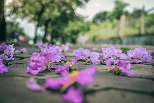 Phan Thiết được nhuộm tím bởi sắc hoa bằng lăng