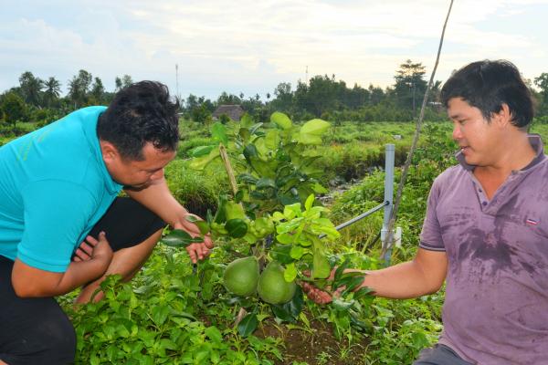 Việt Nam lần đầu trồng Bưởi ruby