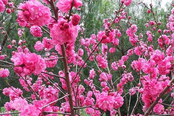 Có một Đà Lạt rất khác trong mùa hoa Mai Anh Đào