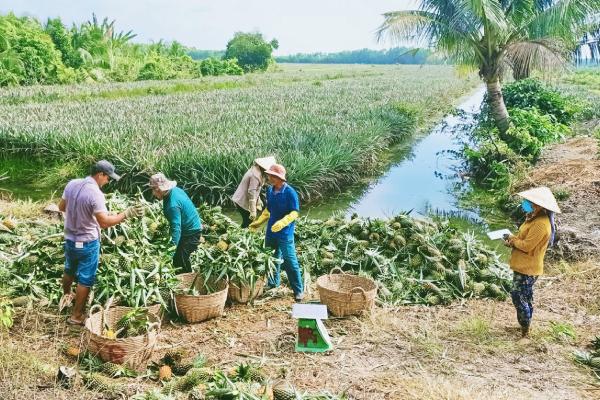 """Nông dân Long An """"ấm lòng"""" nhờ trồng khóm"""