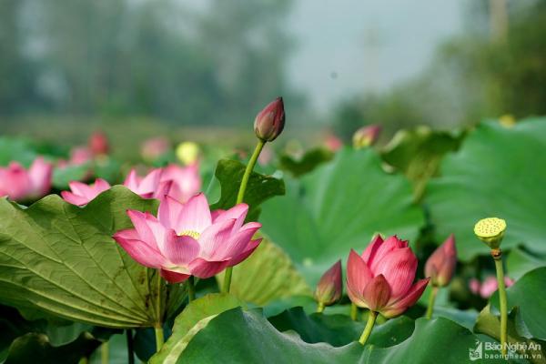 Sau Đồng Tháp, Nghệ An muốn trồngHoasen làmdu lịch sinh thái