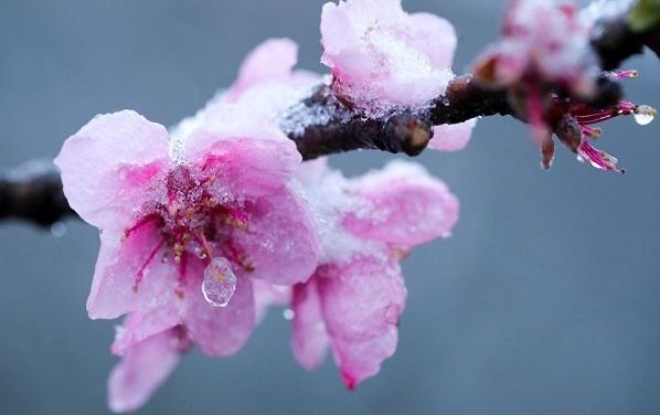 Ngắm hoa đào trong tuyết ở Sapa