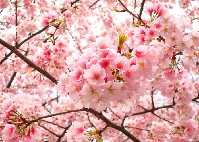 Chiêm ngưỡng hoa Anh đào Nhật ở Điện Biên