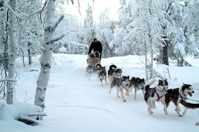 Những chú chó Husky với dịch vụ xe chó kéo cực hot ở Nga
