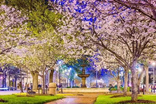 Ngắm hoa anh đào lộng lẫy ở thành phố Macon