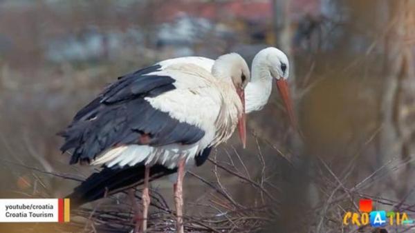 Kỳ lạ chú cò mỗi năm bay 14.000 km về thăm bạn tình