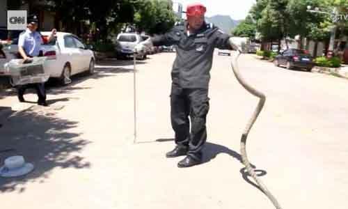 Rắn hổ mang dài 2,7 m nằm gọn trong ôtô