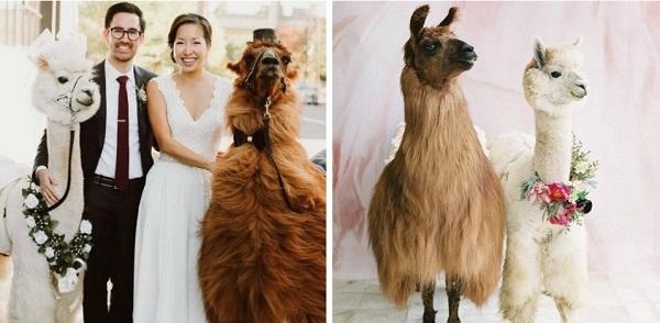 """Thuê lạc đà làm """"khách danh dự"""" trong lễ cưới"""