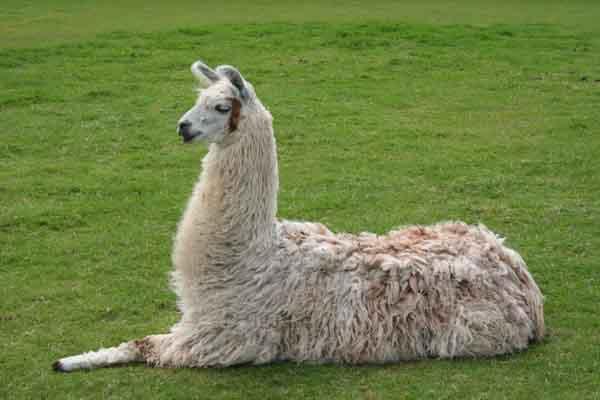 Lạc đà không bướu - Chìa khóa cho liệu pháp chữa virus Corona mới nhất