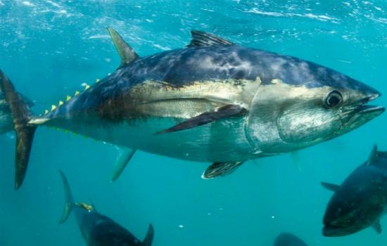 Dấu hiệu nào để biết bạn dị ứng khi ăn cá ngừ?