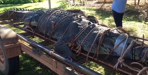 Cá sấu khổng lồ bị bắt sau gần 10 năm lẩn trốn
