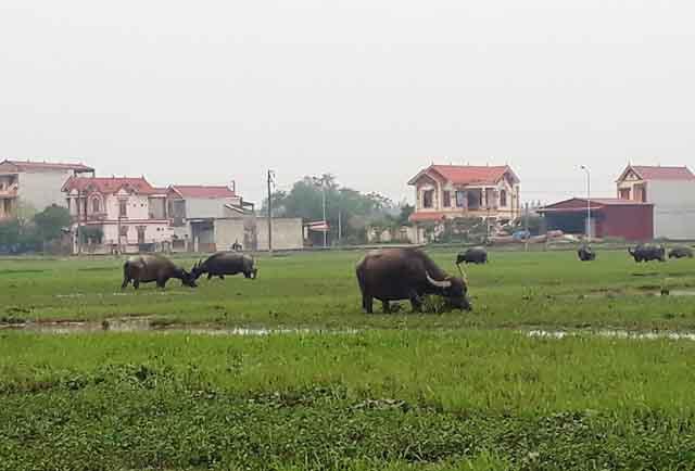 Thanh Hóa: Bò muốn gặm cỏ đồng phải đóng thuế
