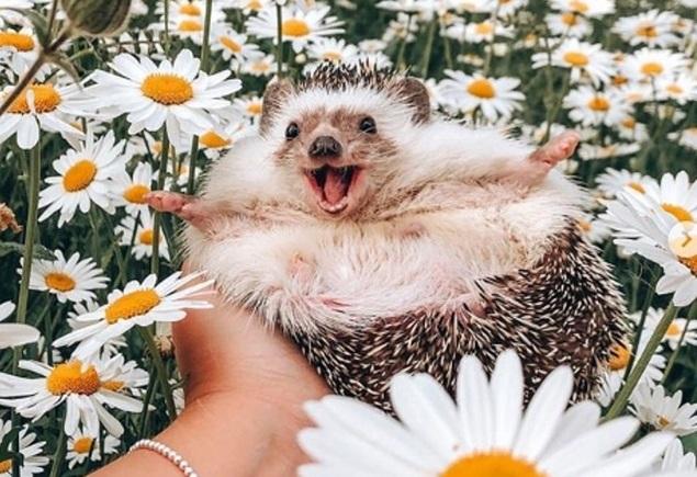 'Chú nhím hạnh phúc nhất thế giới'