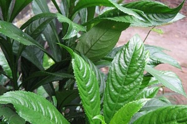 Bài thuốc dân gian: Lá xương sông trị bệnh cảm sốt hiệu quả  với công thức dễ làm
