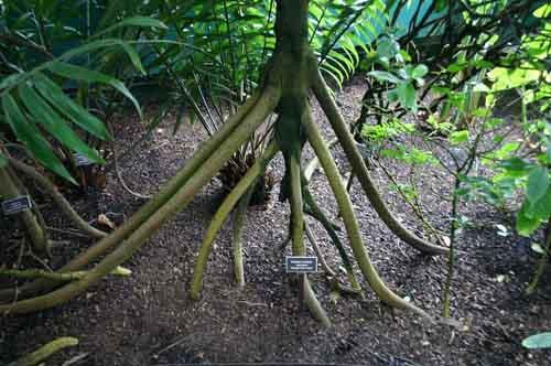 Những cây cọ biết đi trong rừng Ecuador