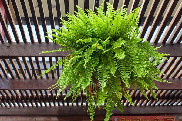 Mách bạn 3 loài cây có khả năng làm mát ngôi nhà khi trời nắng nóng