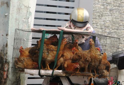 Nhiều tiểu thương chở gà sống tới tận nhà dân để bán