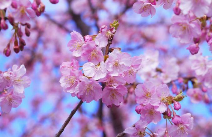 Hoa anh đào Nhật nở bất ngờ giữa mùa thu