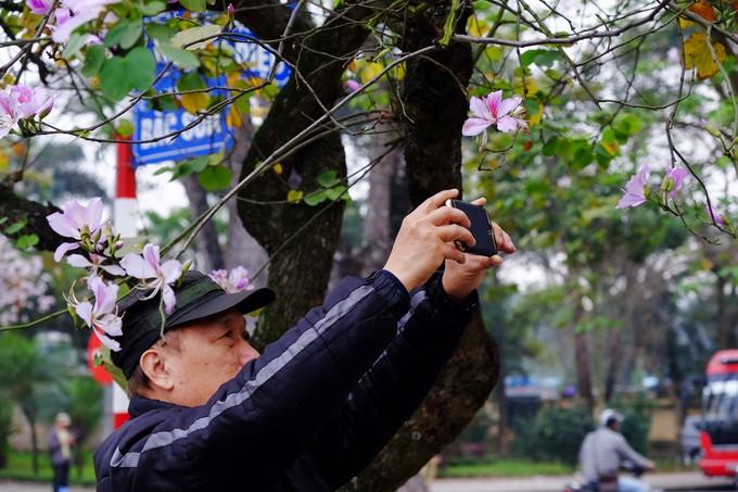 Không cần lên Tây Bắc, ở Hà Nội cũng có hoa ban