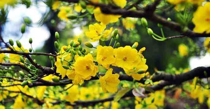 Ý nghĩa của hoa mai trong ngày Tết