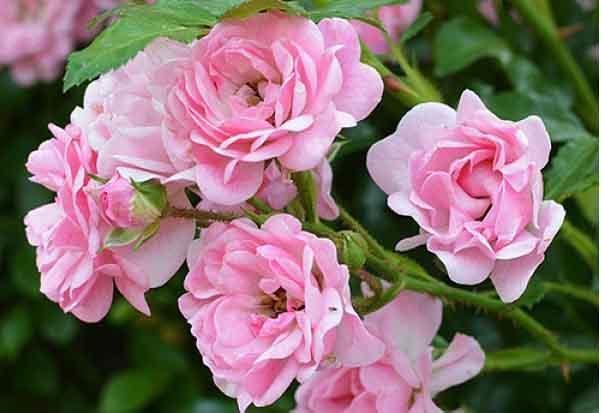 Hoa hồng vừa thơm lại vừa lâu héo đã được tìm ra