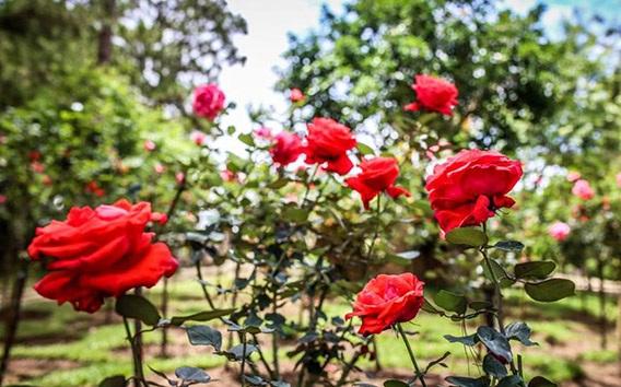 Kỹ thuật trồng và chăm sóc hoa hồng cho nhiều bông nở rộ khắp vườn