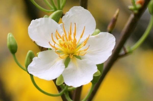 Bái lạy hoa mai