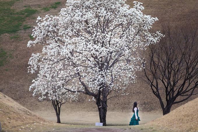 Hoa mộc lan nở rộ khắp đường phố Hàn Quốc