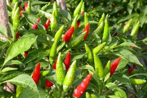 Tác dụng chữa nhiều bệnh của cây ớt
