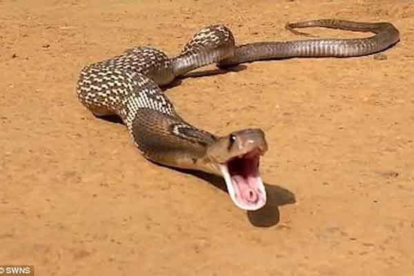 Không biết đã bị rắn độc cắn, mẹ vô tư cho con bú sữa khiến bé tử vong