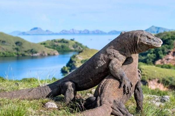 Bỏ hơn 1 tỷ đồng để được tham quan rồng Komodo Indonesia