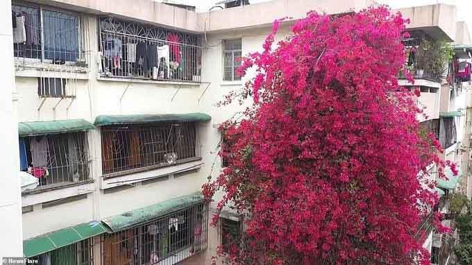 Cùng ngắm thác hoa rực rỡ tại một chung cư cũ
