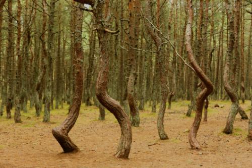 Bạn đã bao giờ thấy những cây thông nhảy múa trong rừng?
