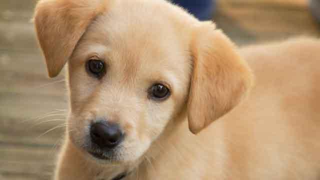Nuôi chó không cần thận có thể bị viêm bàng quang