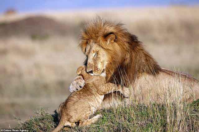 Những khoảnh khắc đặc biệt của vua sư tử