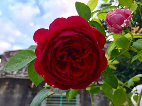 Ngôi nhà hoa hồng của cô giáo miền quê