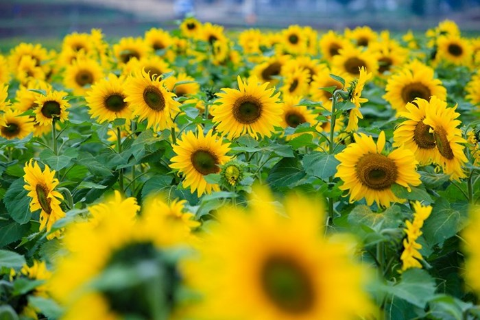 Cánh đồng hoa hướng dương bát ngát cực thu hút ở Việt Nam
