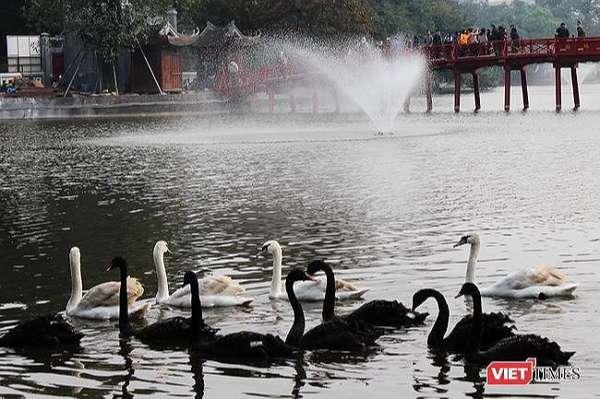 12 con thiên nga chuyển từ Hồ Gươm về hồ Thiền Quang
