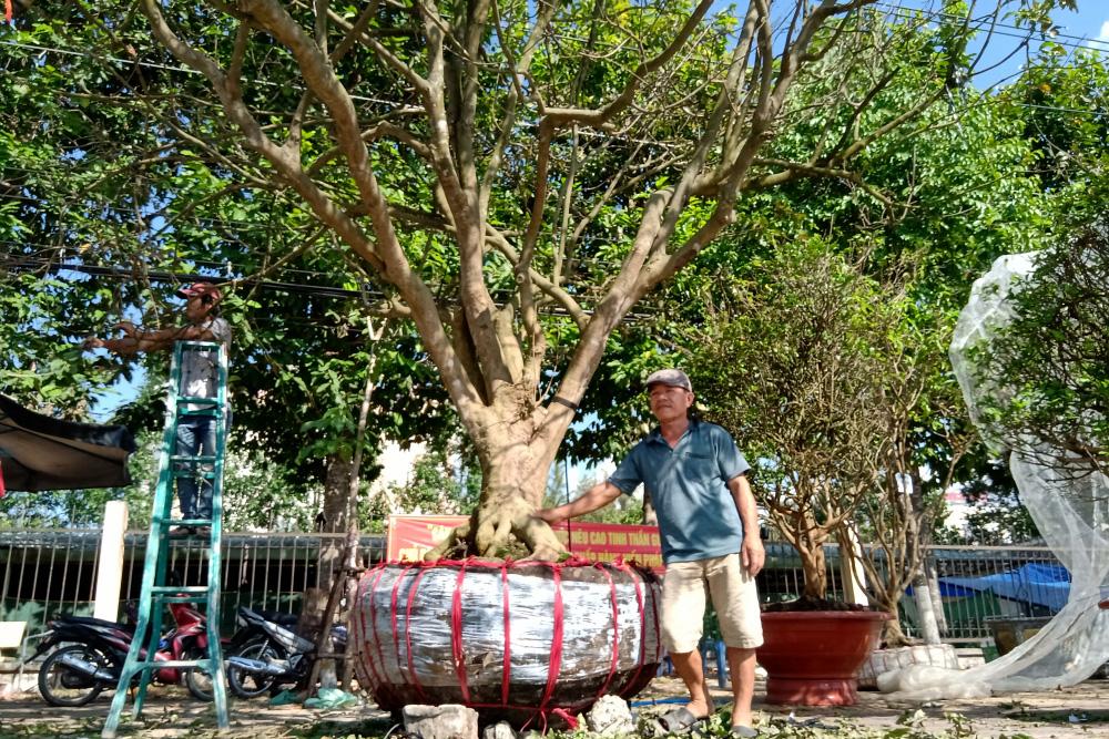 Ngỡ ngàng với cây mai cổ thụ 200 năm tuổi giá 3 tỷ tại Cần Thơ