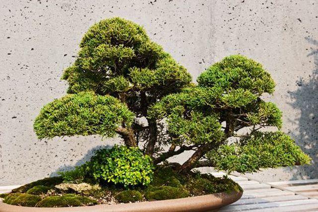 Cây bonsai bị đánh cắp và ý nguyện của người chủ cũ