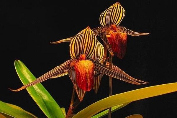 Loài hoa lan 15 năm mới nở một lần, có nguy cơ tuyệt chủng