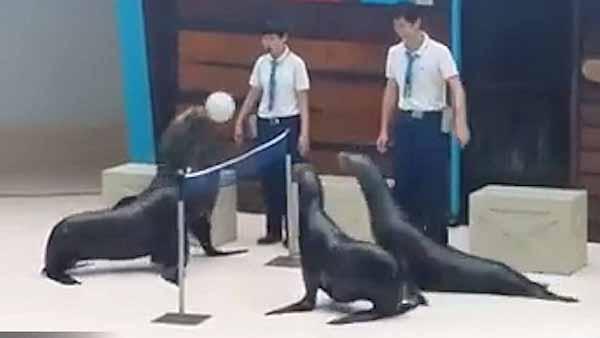 Trận bóng chuyền quá hay của những chú hải cẩu!
