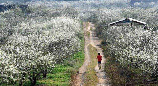 Vi vu Mộc Châu mùa hoa mận trắng