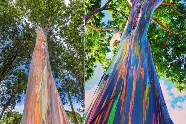 'Cây nhiều màu sắc nhất thế giới' có khả năng sát khuẩn đường hô hấp