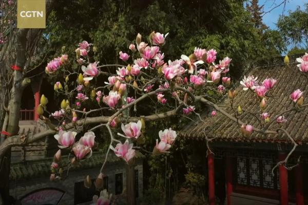Sững sờ trước vẻ đẹp của hoa mộc lan lâu đời nhất thế giới